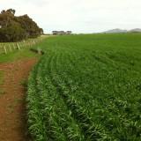 Barley-e1441353951761